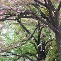 Photos: 牡丹桜も散りはじめました