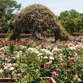 Photos: 薔薇の香に包まれて