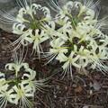写真: 大阪 吹田市 関西大学 白い彼岸花