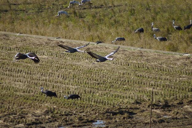 鹿児島県 出水市 鶴 ツルの飛来地