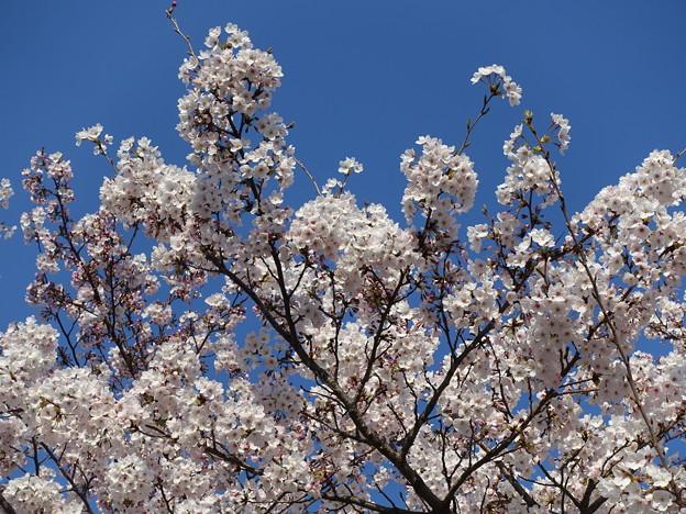 桜 桜咲くと嬉しいI'm a japanese