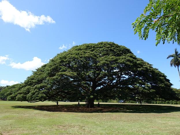 ハワイ ホノルル 日立の樹
