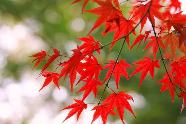 Photos: 秋月の紅葉