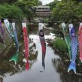 JR神戸線の5月の風景 01_夙川のこいのぼり