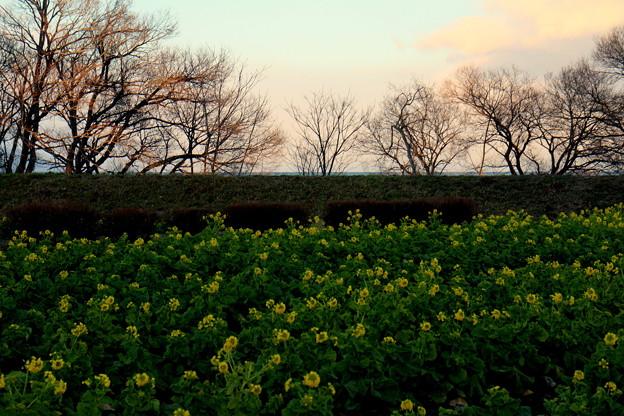 写真: 菜の花畑の夕暮れ