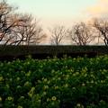 菜の花畑の夕暮れ