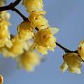 写真: 青空に梅薫る