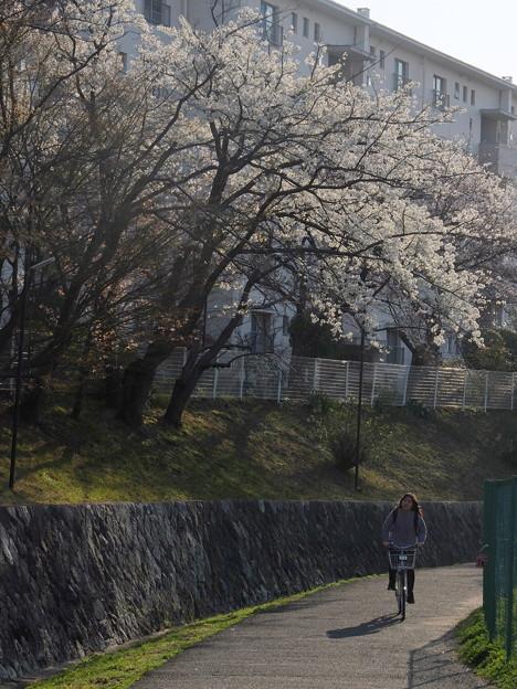 写真: 桜咲く道