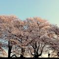 写真: Cherry blossoms