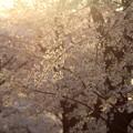 光の中の桜