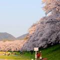 Photos: 桜は続くよ~♪