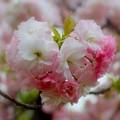 Photos: 八重の恋