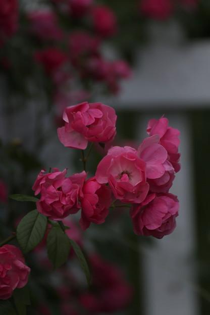赤いバラが見たいね