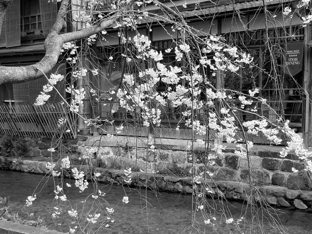 Photos: Spring of Gion