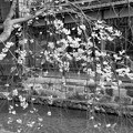 Spring of Gion