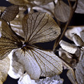 Photos: 枯れ花