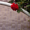 バラのある場所