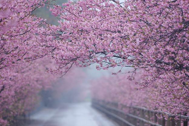 浜岡砂丘 河津桜