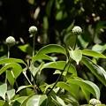 写真: 常緑ヤマボウシ 3