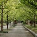 メタセコイア並木4