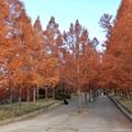 メタセコイア並木 2