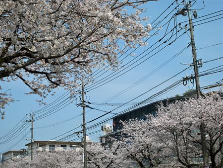 健軍自衛隊通りの桜(7)