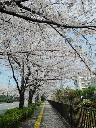 健軍自衛隊通りの桜(6)