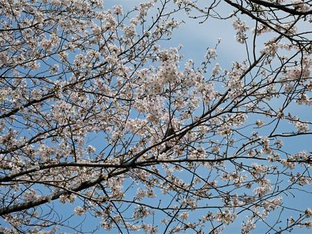 健軍自衛隊通りの桜(5)