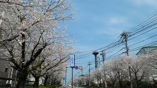 健軍自衛隊通りの桜(3)