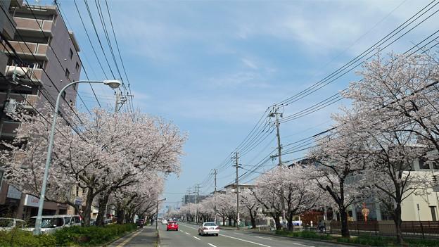 健軍自衛隊通りの桜(2)