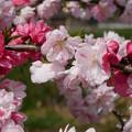 写真: 光蔵寺(5)近くの田んぼの中の桃