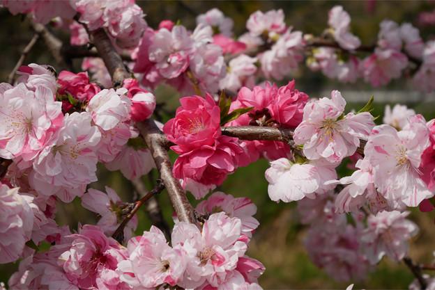 光蔵寺(4)近くの田んぼの中の桃
