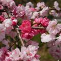 写真: 光蔵寺(4)近くの田んぼの中の桃