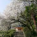 仁比山神社の仁王門少し手前、もみじの湯の入口付近の八重桜(4)