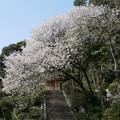 仁比山神社の仁王門少し手前、もみじの湯の入口付近の八重桜(3)