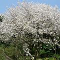 仁比山神社の仁王門少し手前、もみじの湯の入口付近の八重桜(2)