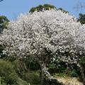 仁比山神社の仁王門少し手前、もみじの湯の入口付近の八重桜(1)