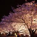 写真: サンレイクかすやの夜桜 (10)