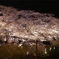 写真: サンレイクかすやの夜桜 (6)