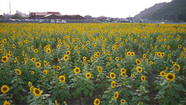 道の駅原鶴のひまわり園@2015 (2)
