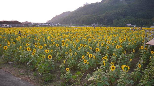 道の駅原鶴のひまわり園@2015 (1)