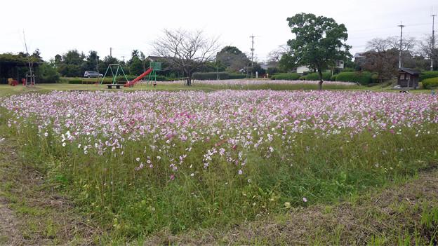 金立公園のコスモス@2017 (4)