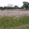 Photos: 金立公園のコスモス@2017 (4)