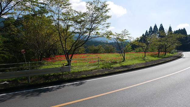 国道222号沿い、道の駅酒谷近くの彼岸花 (1)
