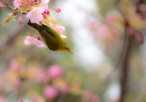 Photos: 逆さカワジロー