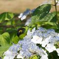 写真: 紫陽花ホバリング