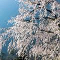 Photos: 朝日のあたる桜