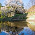 Photos: 要害桜