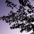 Photos: 紫がかった空の下
