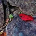 写真: 石の上に舞い落ちる赤色の葉
